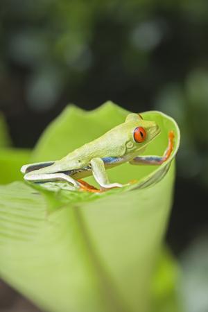 Red-eyed tree frog (Agalychnis callidryas) on edge of leaf,Costa Rica