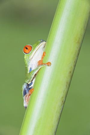 Red-eyed tree frog (Agalychnis Callidryas) on stem,Costa Rica LANG_EVOIMAGES
