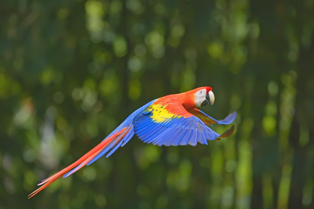 Scarlet macaw (Ara Macao) flying,Corcovado National Park,Costa Rica LANG_EVOIMAGES