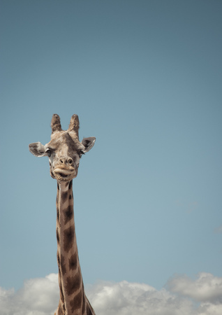 Portrait of giraffe and blue sky LANG_EVOIMAGES