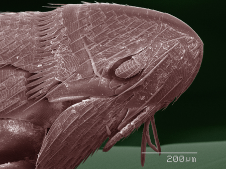 parasite: Coloured SEM of flea LANG_EVOIMAGES
