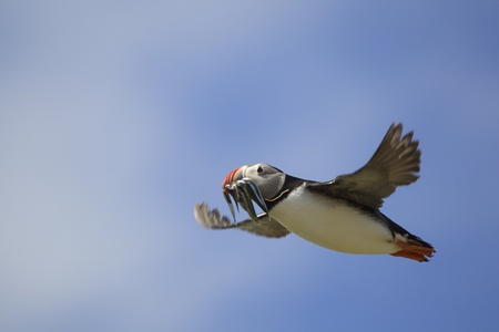 resourceful: Atlantic Puffin in flight with fish in mouth, Farne Islands, Northumberland, England