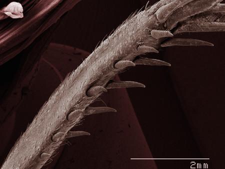 Coloured SEM of house cricket (Acheta domesticus) leg spurs