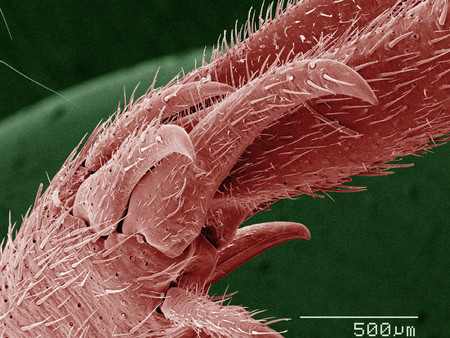 Coloured SEM of house cricket (Acheta domesticus) leg spurs