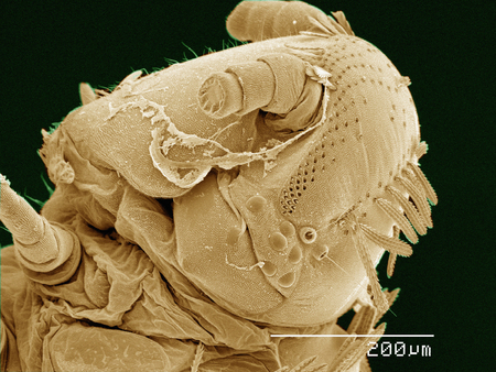 Coloured SEM of head of Polyxenus millipede