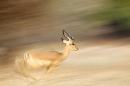 Impala ram - Aepyceros melampus - running