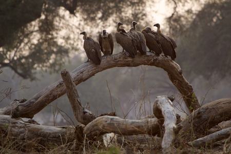 White backed vultures - Gyps africanus