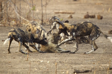 African Wild Dogs - Lycaon pictus - on juvenile baboon - Papio cynocephalus ursinus.  The adults caught three juvenile baboons & gave them to the pups in the pack to teach them how to kill LANG_EVOIMAGES