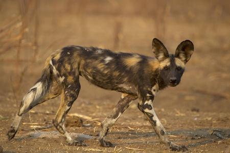 Wild Dog - Lycaon pictus - critically endangered