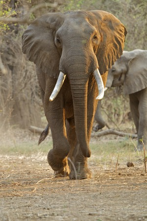 African elephant - Loxodonta africana - Bull walking at dawn