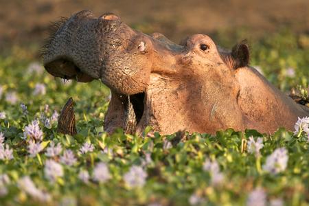 Hippopotamus  Hippo - Hippopotamus amphibius - in a waterhole filled with river hyacinths in flower,  Mana Pools National Park, Zimbabwe, Africa LANG_EVOIMAGES