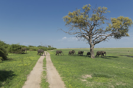 African elephants (Loxodonta africana) walking in line
