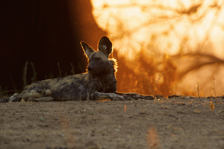 African Wild Dog - Lycaon pictus.  Critically endangered LANG_EVOIMAGES