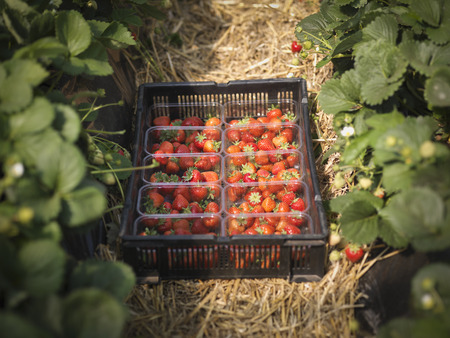 Tray of freshly picked strawberries in punnets on fruit farm LANG_EVOIMAGES