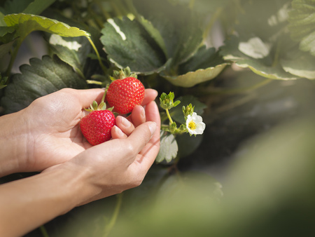 Close up of hands holding strawberries on fruit farm