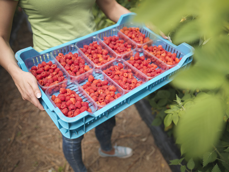 Worker holding tray of freshly picked raspberries in punnets on fruit farm