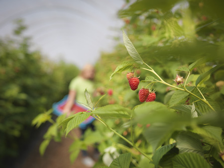 Worker picking raspberries in fruit farm, close up