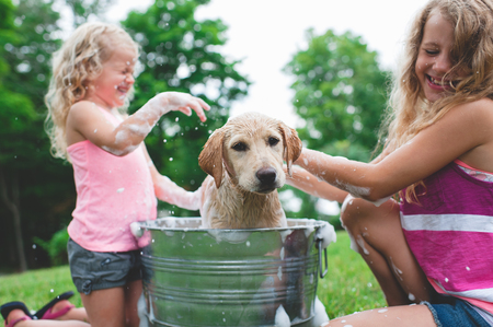 7 8: Labrador Retriever puppy in bucket shaking bath water at sisters