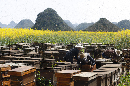 Swarms of bees and three beekeepers working next to fields with yellow blooming oil seed rape plants,Luoping,Yunnan,China LANG_EVOIMAGES