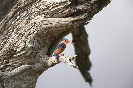 Malachite Kingfisher (Alcedo cristata),Selous National Park,Tanzania