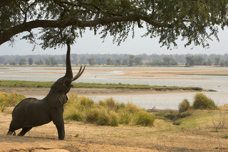 zimbabwe: Bull african elephant (loxodonta africana) reaching up to tree,Mana Pools National Park,Zimbabwe