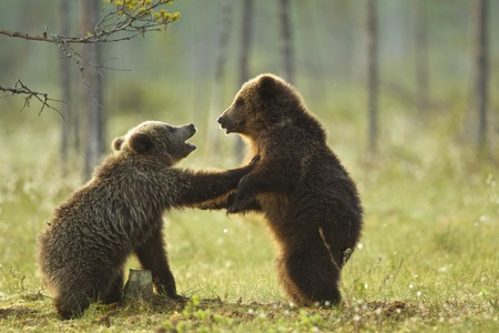 Two brown bear cubs play fighting (Ursus arctos) in Taiga Forest,Finland LANG_EVOIMAGES