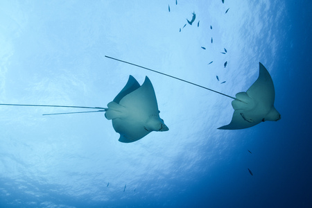 Spotted eagle rays (aetobatus narinari), underwater view, Cancun, Mexico LANG_EVOIMAGES