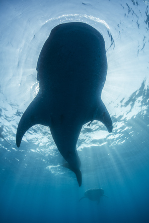 Underside view of whale shark (rhyncodon typus) feeding on the water surface, Isla Mujeres, Mexico