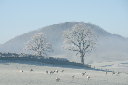 cumbria: Herd of sheep in frosty field,The Lake District,UK