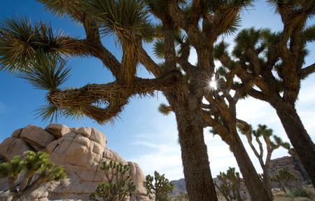 joshua tree national park: Desert trees