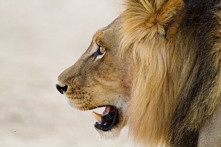 Male lion, head shot