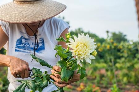 60 64 years: Senior female farmer pruning leaves from cut flower