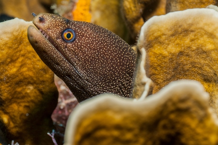 golden moray eel in coral lair cancun mexico stock photo picture