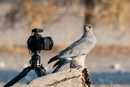 A pale chanting-goshawk (Melierax canorus), looking at a remote camera, Kalahari, Botswana, Africa