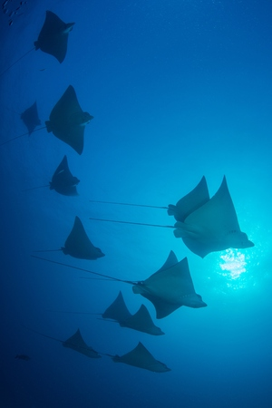 narinari: Underwater low angle view of school of spotted eagle rays (Aetobatus narinari), Cancun, Mexico