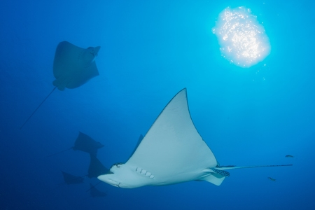 narinari: Underwater low angle view of spotted eagle ray (Aetobatus narinari), Cancun, Mexico