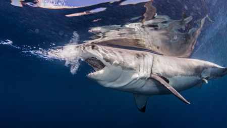 guadalupe island: Great white shark near water surface