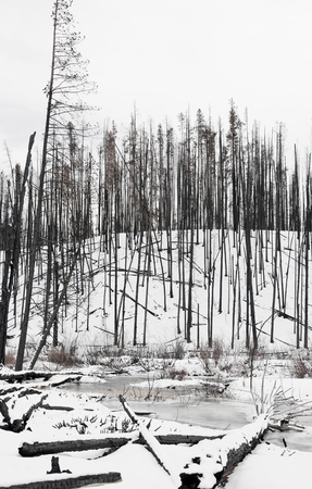 sawtooth national forest: Bare burnt trees on snow covered hill in Sawtooth National Forest, Idaho