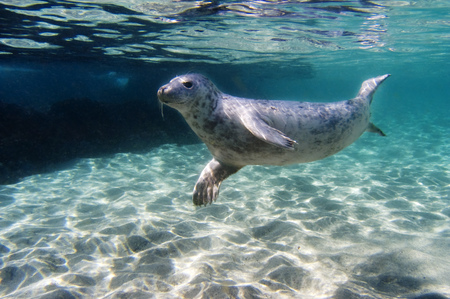 Seal swimming underwater LANG_EVOIMAGES