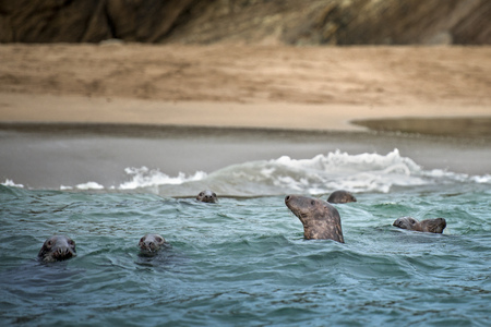 Seals emerging from water