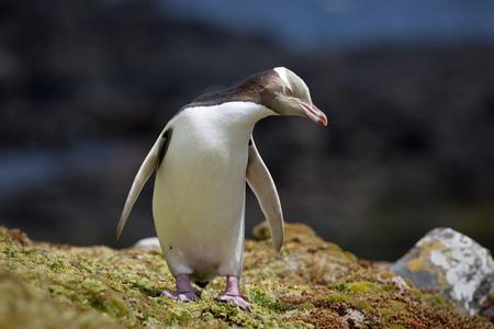 Yellow eyed penguin walking on rocks LANG_EVOIMAGES