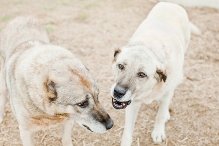kangal: Two dogs on a farm LANG_EVOIMAGES