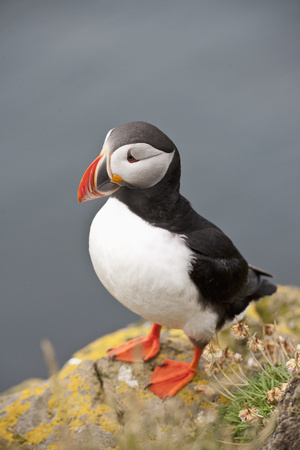puffin: Portrait of Atlantic puffin on cliff top, Latrabjarg. Westfjords, Iceland