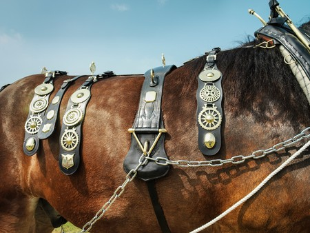shire horse: Close up of shire horse with brasses in English country show