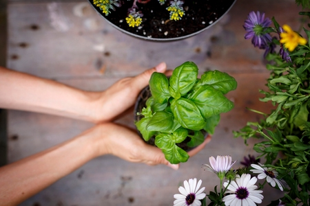 High angle view of hands holding basil plant