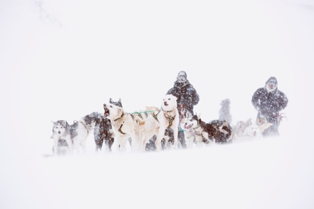 to go sledding: Huskies pull a sleigh through deep snow in Spitsbergen. Spitsbergen is the largest island of the arctic archipelago Svalbard, of Norway