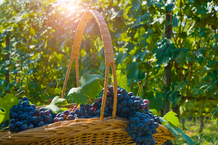 Basket of grapes, Langhe Nebbiolo, Piedmont, Italy LANG_EVOIMAGES