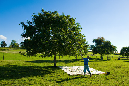 Man retrieving walnuts from tree with pole in walnut grove LANG_EVOIMAGES