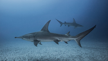 Underwater view of Great Hammerhead Sharks, Jupiter, Florida, USA LANG_EVOIMAGES
