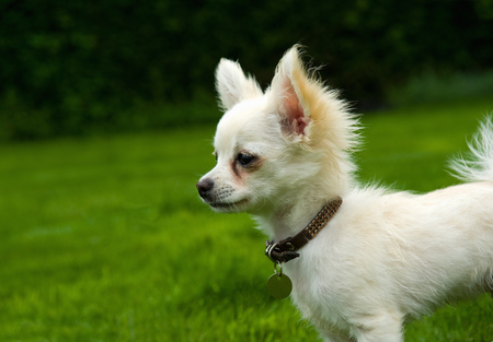 Long-haired Chihuahua standing on grass